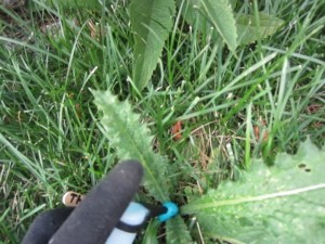 Concentrated Foam Herbicide Applied to Bull Thistle Rosette