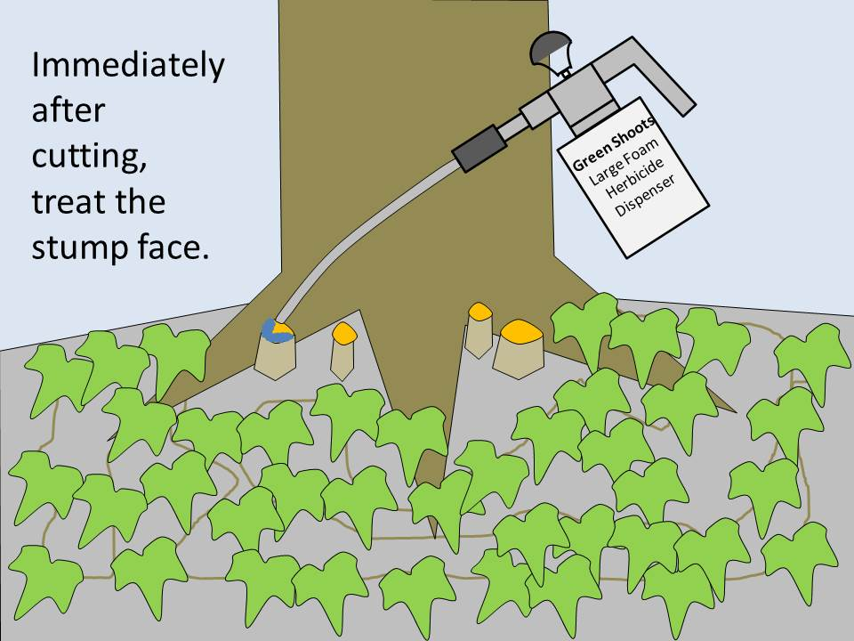 How To Kill Invasive English Ivy Vines Green Shoots News
